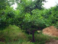 供应5公分山楂树,6、7、8公分山楂树,10公分山楂树