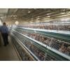 聊城青年鸡养殖_质量一流的青年鸡市场价格情况
