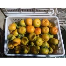 陕西2017柿子金钱柿子价格,水果柿子八月黄柿子产地价格